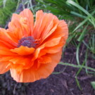 Why I Love Poppies
